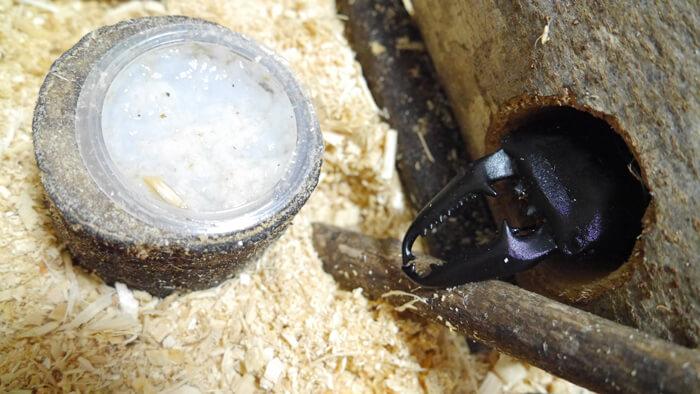 木の中で寝ているパラワンオオヒラタクワガタ