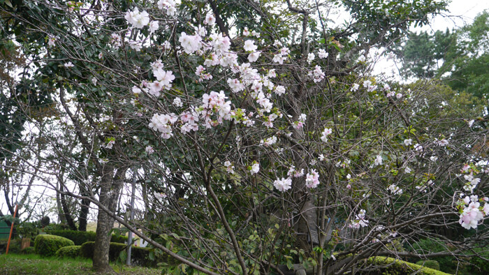 第1駐車場付近の桜